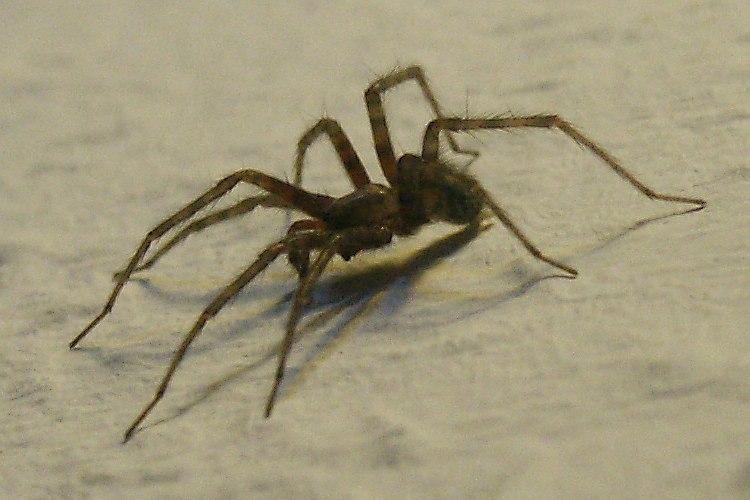 Spinnen Orde Aranea